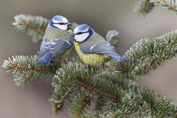 Couple of Blue tits (Parus caeruleus)  Regional Natural Park of Northern Vosges  France