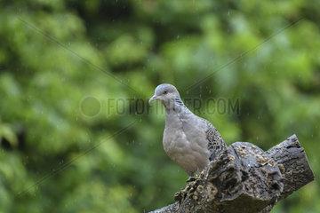 Oriental Turtle-Dove (Streptopelia orientalis) under the rain  Shanxii  Chine