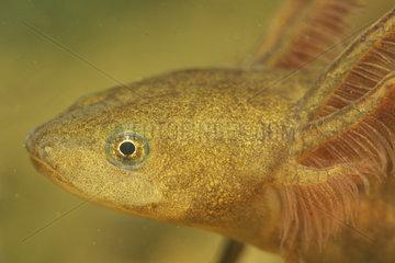Northern Crested Newt larva (Triturus cristatus) in a pond  Prairies du Fouzon  Loir-et-Cher  France