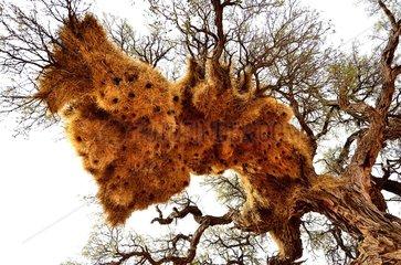 Sociable Weaver nests on a tree - Namibia