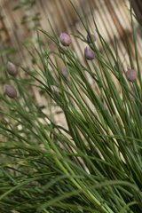 Chives in buds in the spring in a garden France