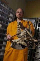 West African Gabon viper's venom removal in a laboratory