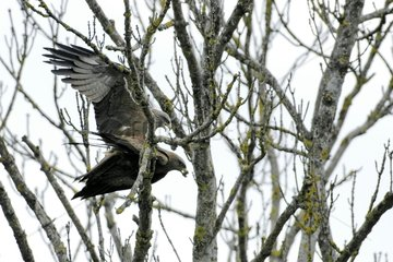 Mating of Egyptian Kytes in a tree Switzerland