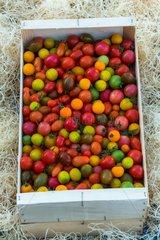 Harvest of tomatoes cherry 'Bonbecks'