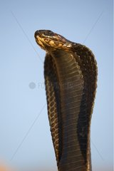 Head and neck of an Egyptian Cobra in the desert Morocco