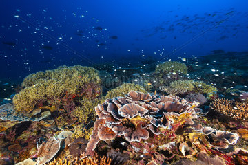 Healthy coral reef  Mayotte