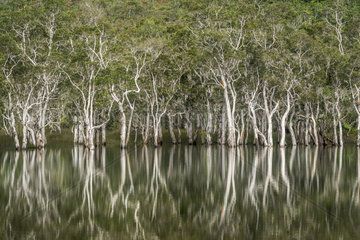 Niaouli forest (Melaleuca quinquenervia) reflecting in the water. Blue River Park. Niaouli. New Caledonia.