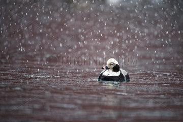 Long-tailed Duck (Clangula hyemalis) in the port of Battsfjord  Varanger  Norway