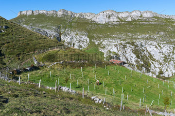Native trees reforestation in Miera Valley  Valles Pasiegos  Cantabria  Spain  Europe