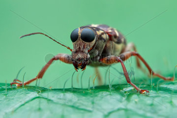 Low angle portrait shot of a fungus weevil (Anthribidae).