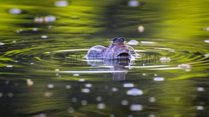 Mudskipper (Gobiidae) gulping air.