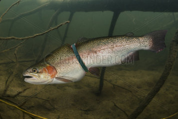 Rainbow trout  Oncorhynchus mykiss  entangled in a plastic ring from a pack. The growth of the fish has been strongly affected and will probably end up dying from the infection of the wounds caused by the abrasion of the plastic in the epidermis. Portugal