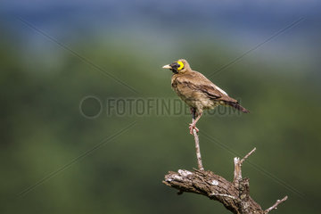 Wattled starling (Creatophora cinerea) in Mapungubwe National park  South Africa.