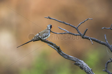 Namaqua Dove (Oena capensis) in Mapungubwe National park  South Africa.