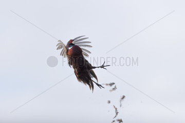 Common Pheasant (Phasianus colchicus)  male in flight  killed by a cartridge  Bas Rhin  France