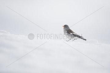 White-winged Snowfinch (Montifringilla nivalis) walking in the snow  Alps  Switzerland