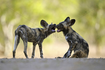 African wild dog (Lycaon pictus) young playing while the rest of the group is taking a nap  Mana Pools  Zimbabwe