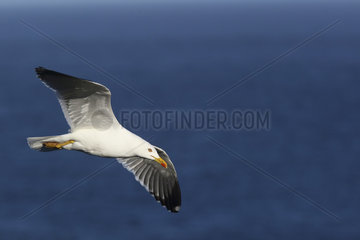 Baltic Gull (Larus fuscus) in flight on sea background  Atlantic Coast  Europe