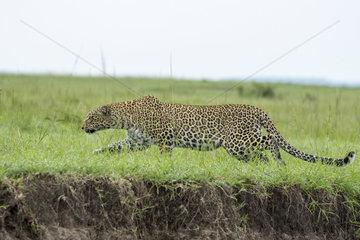 Leopard (Panthera pardus)  female hunting in the rain  Masai-Mara National Reserve  Kenya