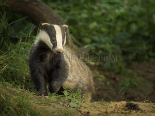 A yearling Badger (Meles meles) emerges from her sett in the Peak District National Park  UK
