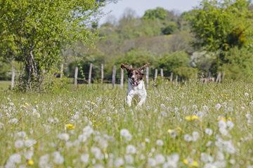 Small muensterlaender running in a blooming meadow  Jura  France