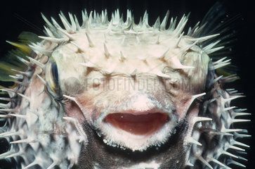 Longspined porcupinefish (Diodon holocanthus) inflated at night  China