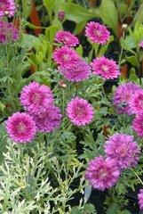 Marguerites 'Cherry Harmony' in bloom in a garden