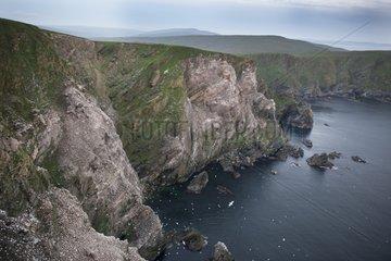 Gannet colony on cliffs of Hermaness NNR - Shetland Islands
