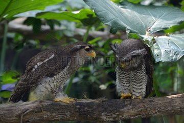Malay eagle owls on a branch - Malaysia