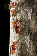 Cicada exuviae on a trunk - Malaysia