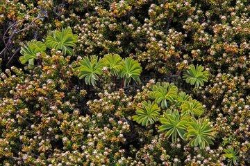 Scurvy grass sorrel - Falkland Islands