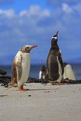 Gentoo Penguin discolored on sandy beach - Falkland Islands