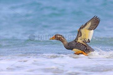 Falkland steamer duck taking off the sea - Falkland Islands