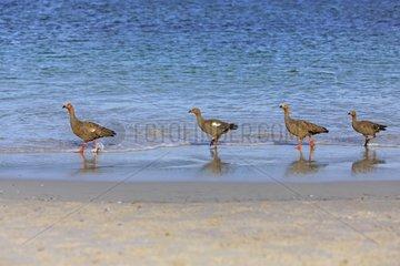 Upland geese walking in water - Falkland Islands