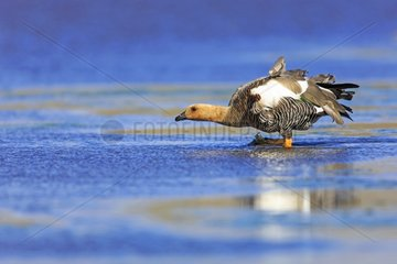 Upland geese drinking in water - Falkland Islands