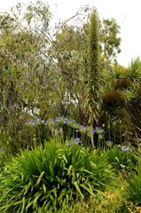 Vipersbugloss and Agapanthus Jardin Exotique de Roscoff