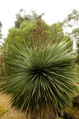 Soaptree Yucca in the Jardin Exotique de Roscoff