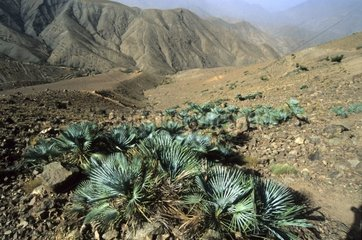 Dwarf palm trees Doum in a landscape of the High Atlas