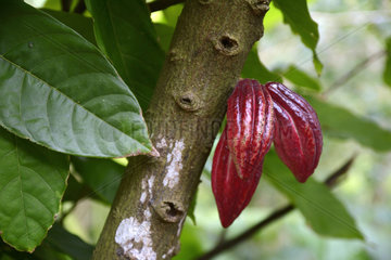 Cocoa pod on the tree  Guadeloupe  French West Indies