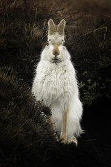 Mountain Hare (Lepus timidus) sat bolt upright in the Peak District  UK.