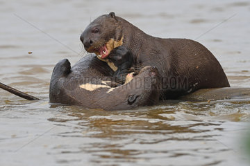 Giant Otter (Pteronura brasiliensis) playing together in water  Pantanal  Brazil