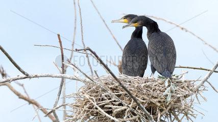 Great Cormorants (Phalacrocorax carbo) young at nest  Lake Kerkini  Central Macedonia  Greece
