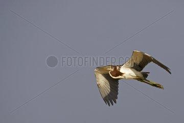 Tricoloured Heron just leaving its nest Venezuela