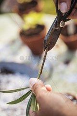 Oleander cutting in a garden