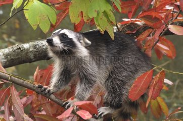 Raccoon surprised in a tree Montevallo Alabama