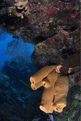Eponges accrochées à un récif Belize