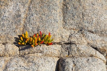 Plant on rock Postberg Trail West Coast NP South Africa