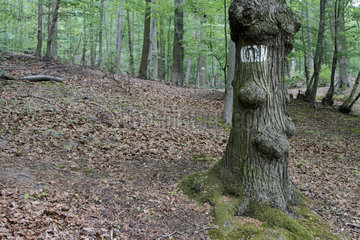 Logo representing a horseshoe painted on a tree to indicate the possible presence of rider in the forest of Meudon  Ile-de-France  France