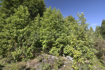 Winter bark (Drimys winteri)  Winteraceae endemic to South Latin America  symbolic tree with medicinal properties  Parque Tantauco  Chiloe Island  X Region of the Lakes  Chile