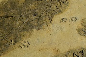 Wolf (Canis lupus) print on mudflats  Great Bear Rainforest  British Columbia  Canada